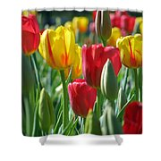 Tulips - Field With Love 22 Shower Curtain