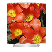 Tulips - Field With Love 25 Shower Curtain