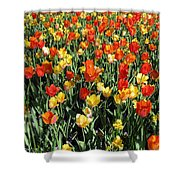 Tulips - Field With Love 50 Shower Curtain