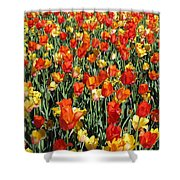 Tulips - Field With Love 51 Shower Curtain