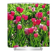 Tulips - Field With Love 54 Shower Curtain