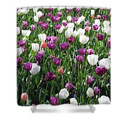 Tulips - Field With Love 60 Shower Curtain