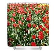 Tulips - Field With Love 61 Shower Curtain