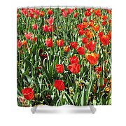 Tulips - Field With Love 62 Shower Curtain