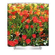 Tulips - Field With Love 68 Shower Curtain