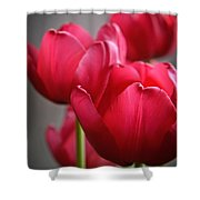Tulips In The  Morning Light Shower Curtain