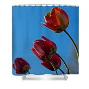Tulips On Blue Shower Curtain