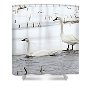 Tundra Swans Shower Curtain