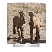 Two Aoudad Babies Playing Shower Curtain