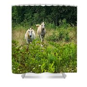 Two Appaloosa Horses  Shower Curtain