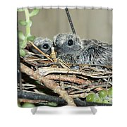 Two Baby Mourning Doves Shower Curtain