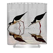 Two Black Neck Stilts Eating Shower Curtain