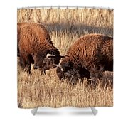 Two Bull Bison Facing Off In Yellowstone National Park Shower Curtain