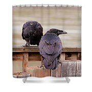 Two Common Ravens Corvus Corax Interacting Shower Curtain