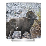 Two Male Rams Shower Curtain