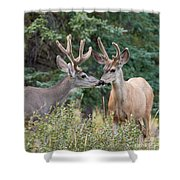 Two Mule Deer Bucks With Velvet Antlers Interact Shower Curtain