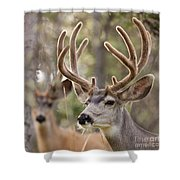Two Mule Deer Bucks With Velvet Antlers  Shower Curtain