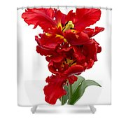 Two Red Parrot Tulips Shower Curtain