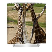 Two Reticulated Giraffes - Giraffa Camelopardalis Shower Curtain