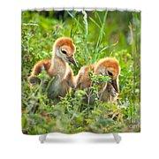 Two Sandhill Crane Chicks Shower Curtain