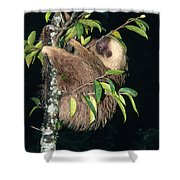 Two-toed Sloth Choloepus Didactylus Shower Curtain