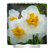 Two-toned Daffodils Shower Curtain