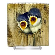 Two Tree Swallow Chicks Shower Curtain