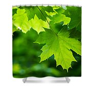Under The Maple Leaves - Featured 2 Shower Curtain