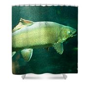 Underwater Shot Of Trophy Sized Tiger Trout Shower Curtain