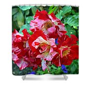 Variegated Multicolored English Roses Shower Curtain