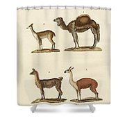 Various Camels Shower Curtain