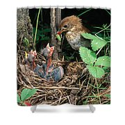 Veery At Nest Shower Curtain