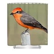 Vermilion Flycatcher Pyrocephalus Shower Curtain