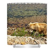 Very Light-colored Grizzly Bear In Moraine River In Katmai Nnp-ak Shower Curtain