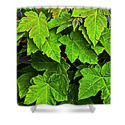 Vibrant Young Maples - Acer Shower Curtain