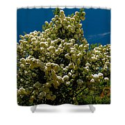 Viburnum Opulus Compactum Bush With White Flowers Shower Curtain