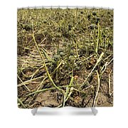 Vidalia Onion Seed Field - Georgia Shower Curtain