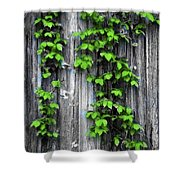 Vines On The Side Of A Barn Shower Curtain
