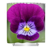 Viola Named Sorbet Plum Velvet Jump-up Shower Curtain