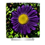 Violet Aster Shower Curtain