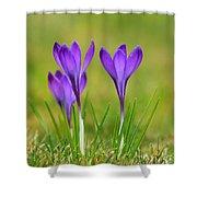 Trio Of Violet Crocuses Shower Curtain