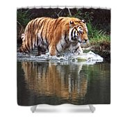 Wading Tiger Shower Curtain