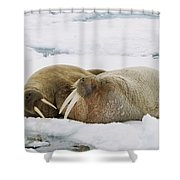 Walrus Male And Female On Ice Floe Shower Curtain