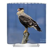 Watchful Eyes Crested Southern Caracara Shower Curtain