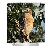 Watchful Eyes - Red Shouldered Hawk Shower Curtain