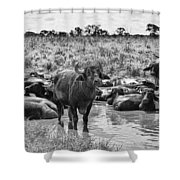 Water Buffaloes-black And White Shower Curtain
