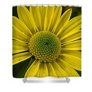 Water Kissed Yellow Chrysanthemum  Shower Curtain