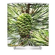 Watercolor Of Ripening Pine Cone Shower Curtain