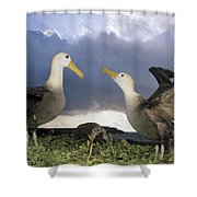 Waved Albatross Courtship Dance Shower Curtain