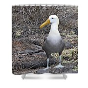 Waved Albatross Diomeda Irrorata Shower Curtain
